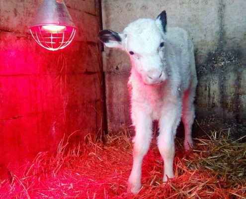 lampada vitelli