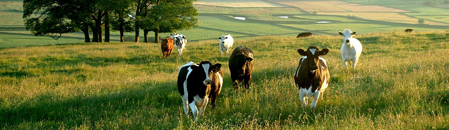 prodotti bovini